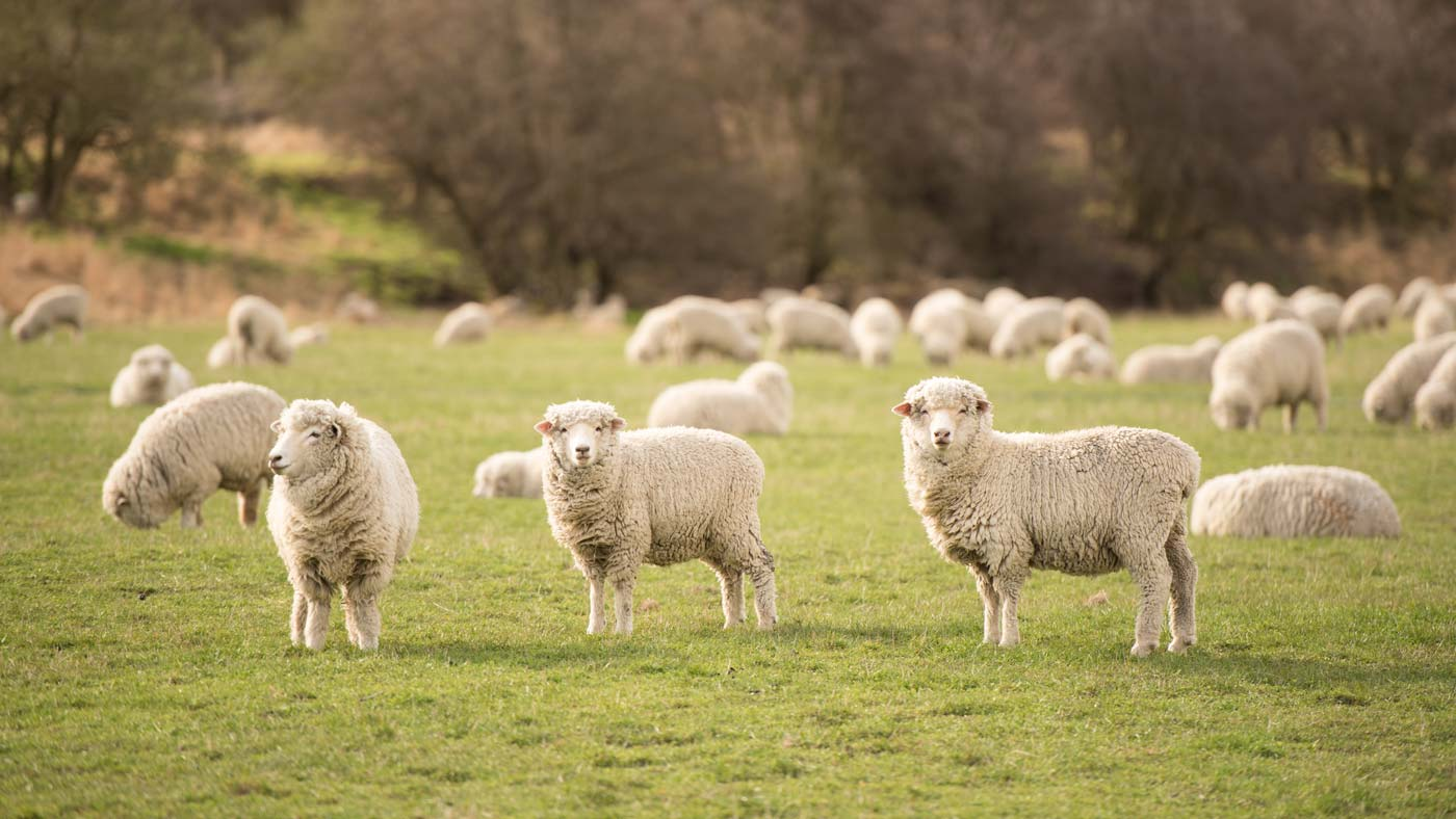 AdobeStock_219486720-Sheep