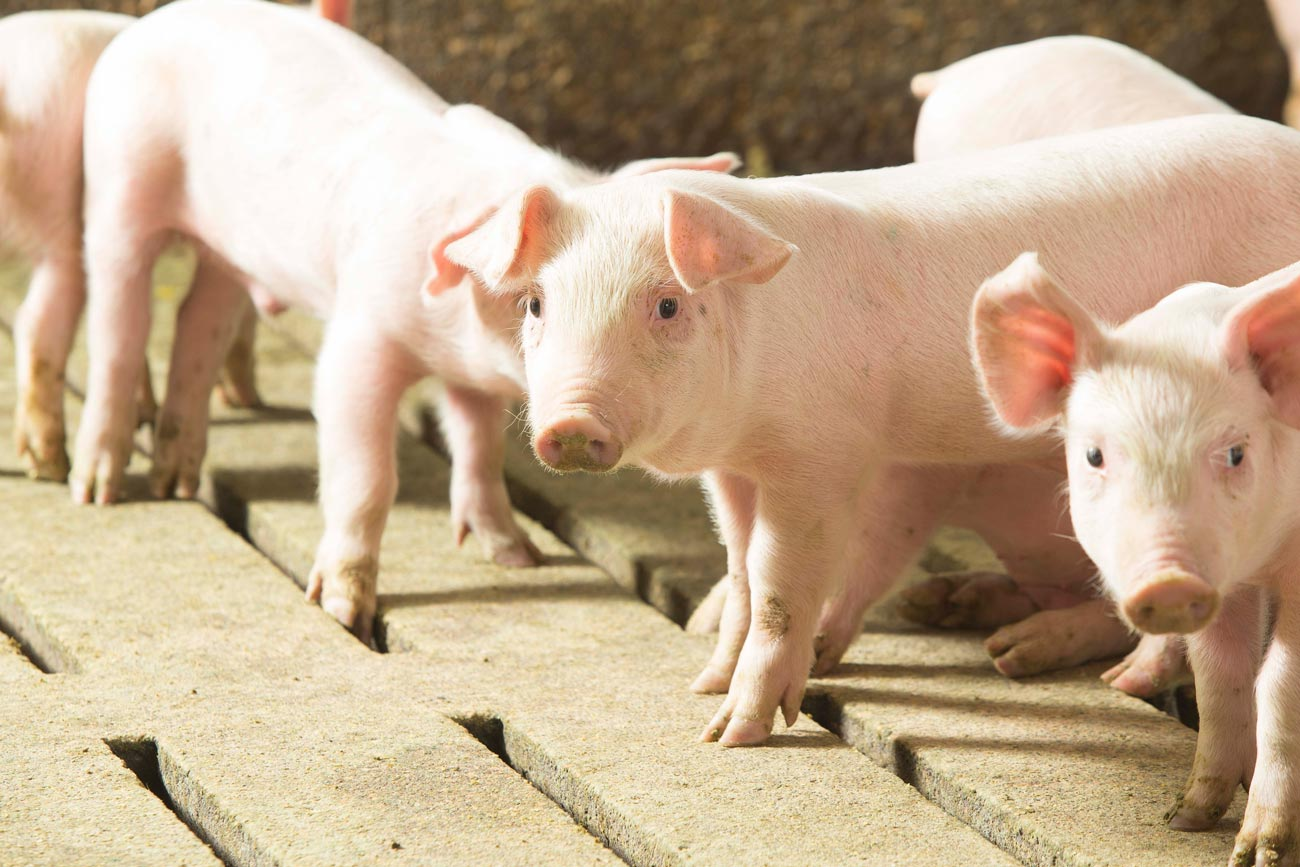 Feeder Pigs, Courtesy of the Pork Checkoff